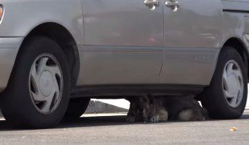 Брошенная старая немецкая овчарка пряталась под машиной