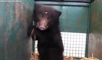 Этот медвежонок лишился мамы, но его спасли люди