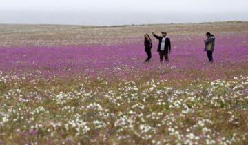 Самое сухое место на планете покрылось буйным цветом (5 фото)
