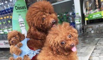 Когда третий — не лишний: вьетнамец придумал, как сохранить семью своих собак
