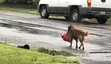 Когда начался ураган, пес сориентировался в ситуации лучше людей