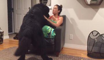 Огромный ньюфаундленд решил, что он карманная собачка