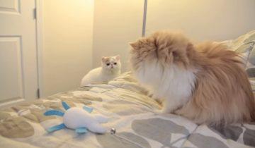 Знакомство котов набрало 1,9 млн просмотров