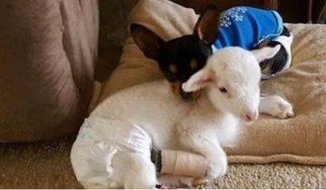 Чихуахуа заменила маму спасенной овечке