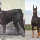 Популярнейшие породы собак сегодня и 100 лет назад