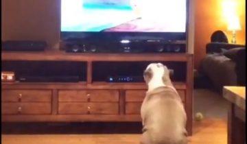 Английский бульдог внимательно смотрит ТВ и реагирует на происходящее