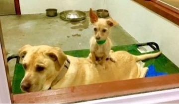 Одна приютская собака почти все время сидит верхом на своем лучшем друге