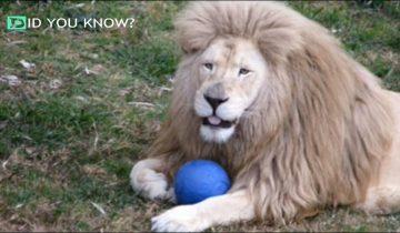 Работница зоопарка кинула мяч скучающему льву