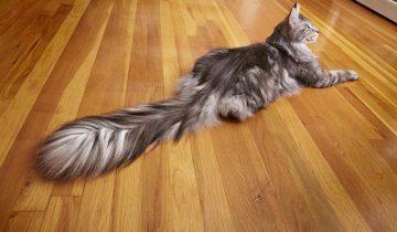 Кот Сингус из Мичигана признан обладателем самого длинного хвоста в мире