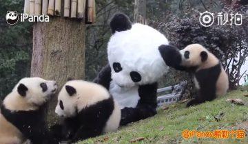 В национальном заповеднике Китая сотрудники переодеваются в панд