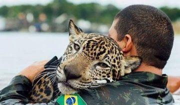 Утопающий ягуар обнял своего спасителя, будто домашний кот