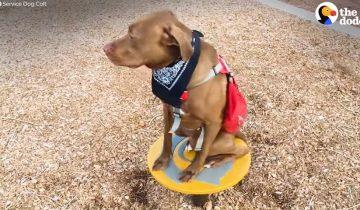 Этот служебный пес творит невероятные вещи для своей хозяйки