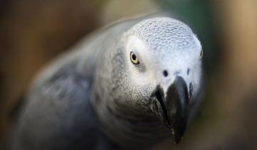 Попугай пропал из дома на 4 года, а вернулся… выучив испанский