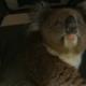 16 километров кормящая коала проехала в колесе авто — и выжила!