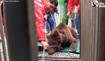 Пять лет на медведицу науськивали собак: их готовили к охоте