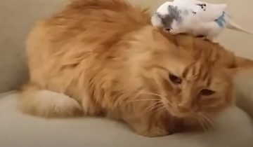 Кот и длиннохвостый попугай — лучшие друзья