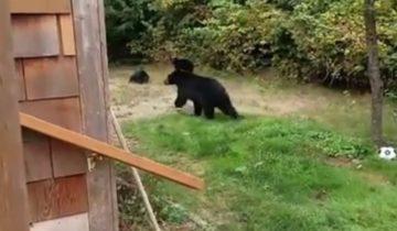 Увидев во дворе медведей, канадец решил не паниковать