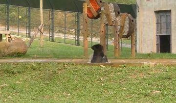 Медведь обрел свободу после долгих лет жизни в клетке