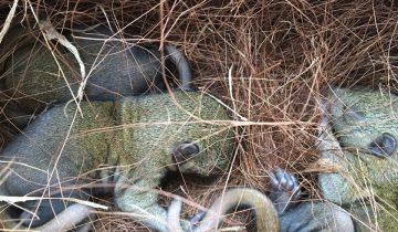 Ураган сбросил бельчат вместе с гнездом с дерева
