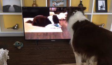 Пес обожает смотреть телевизор. Но вот на экране он увидел себя!