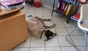 Собака забрела в офис и рухнула на пол. Она была истощенной и уставшей