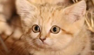 Детеныша барханного кота впервые сняли на камеру в условиях дикой природы
