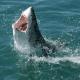 Австралийка схватила голыми руками акулу и отнесла ее в океан