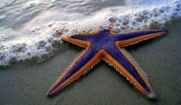 Если вы еще не видели, как двигаются морские звезды, на ночь лучше не смотрите