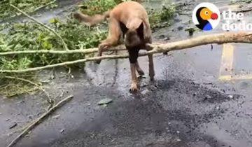 Собака помогает убирать последствия после урагана