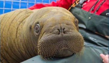 Рыбак спас крошечного моржонка: смотрите, как он счастлив!