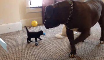 Котенок впервые увидел гигантского питбуля (1,7 млн просмотров)