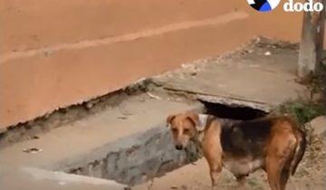 Мама-собака отчаялась найти своих щенков