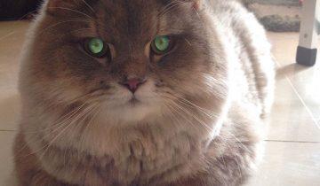 Звезда Инстаграм: кот по имени Bone Bone