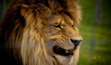 Отважная девочка шокировала интернет: поцелуй льва через стекло
