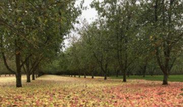 Настоящий ковер из яблок появился в Ирландии