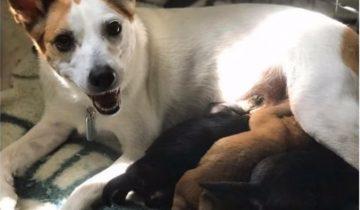 Спасенная Пиратка стала настоящей мамочкой обездоленным щенкам