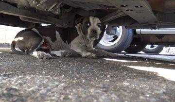 Питбуль с кровоточащими опухолями прятался под машиной