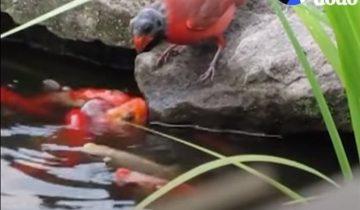 Птичка прилетает к пруду, чтобы накормить рыбок