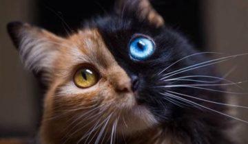 Химера — невероятная кошка с разными половинами мордашки
