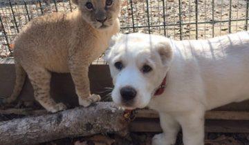 Крошка-львица подружилась с щенком в зоопарке