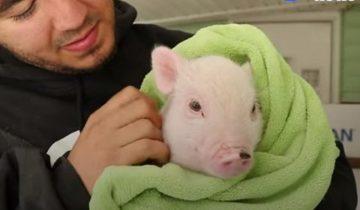 Он всегда готовил мясо, пока не влюбился в свинку