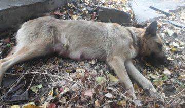 Собака родила 10 щенков, а потом упала, сраженная страшным недугом