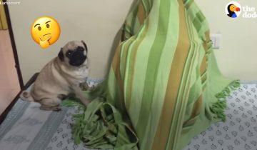 Пес еще не знает, какой сюрприз его ждет под одеялом