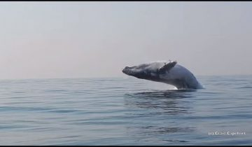 40-тонный кит выпрыгнул из воды, шокировав наблюдателей