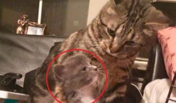 Девушка подобрала на улице котенка. Как примет его кот?