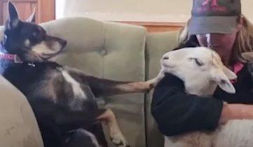 «Эй, а я!» ревнивая собака требует внимания. Но любви хозяйки хватает на всех
