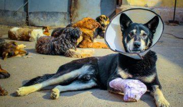 Вместо лечения — смертный приговор. Пес получил травму, а его перестали кормить
