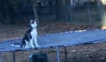 Хозяин застукал хаски: собака бесилась на батуте, пока он спал