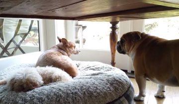 Бульдог обнаружил, что кое-кто занял его кровать