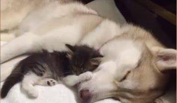 Трехнедельный котенок едва не погиб без мамы: его выходила хаски